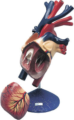 Enlarged Model of Human Heart