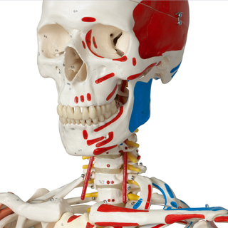 Sam Skeleton Model with Muscles and Ligaments