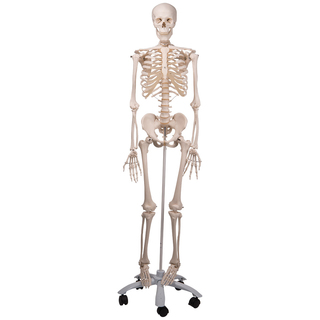 stan the human anatomical life size skeleton, Skeleton