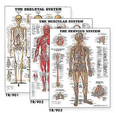 Set of 15 Laminated Anatomical Charts