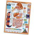 Laminated Chart - The Digestive System