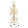 Medical Quality Flexible Spine & Rib Cage